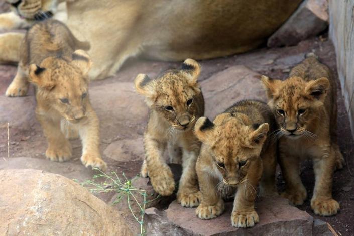 Leones del Zoológico Metropolitano